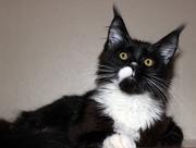 Коты Гиганты породы Мейн Кун